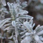 Heilpflanzen für den Winter: Hier Rosmarin.
